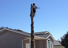 tree-topping-cutting
